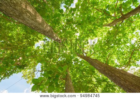 Tall Teak Trees With Clear Blue Sky