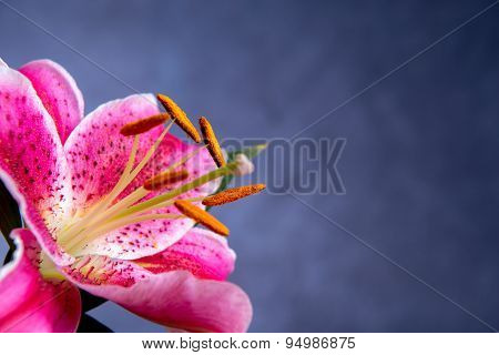 Pink Lilly Blossom