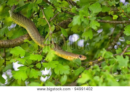 Snake In The Tree