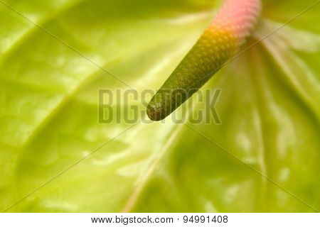 Green Anthurium With  Pink Spadix