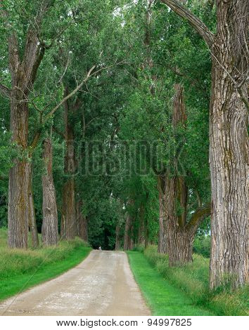 Tall, large trees lining a walking path