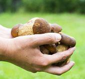 stock photo of boletus edulis  - Handful of porcini mushrooms  - JPG