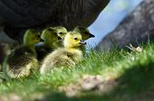 stock photo of mother goose  - Adorable Newborn Goslings Staying Close to Mom - JPG
