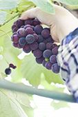 pic of moscato  - female hand picking moscato grapes within romanian wineyard - JPG