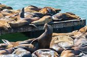 stock photo of sea lion  - Sea lion at Pier 39 San Francisco - JPG