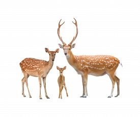 foto of deer  - beautiful sika deer family isolated on white background - JPG