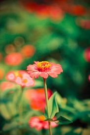 pic of zinnias  - Abstract Blurred Zinnia flower Zinnia flower in motion blur - JPG