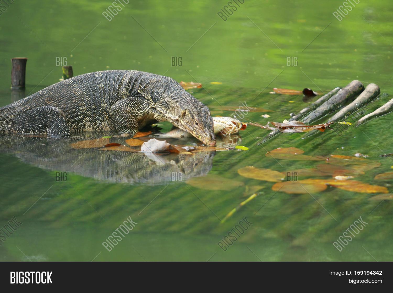 Varanus Salvator Water Monitor Image Photo Bigstock