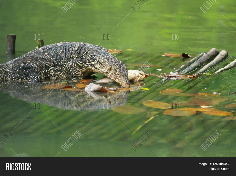 Varanus salvator water monitor image photo bigstock for Water lizard fish