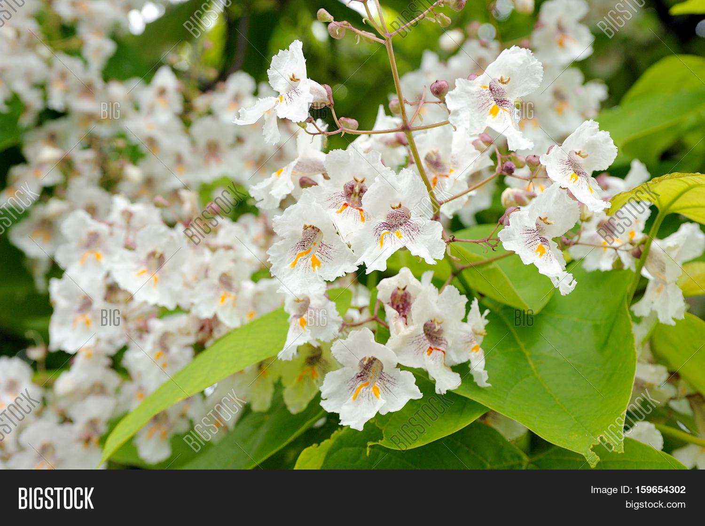 Tree Large White Flowers Catalpa Image Photo Bigstock