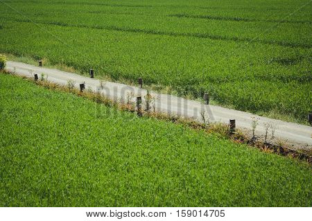 The walkway in rice field at Northern Thailand.