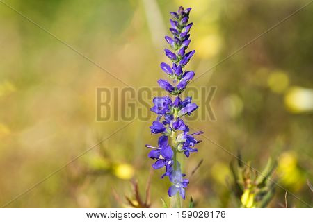 closeup of blue wildflower on blurred background