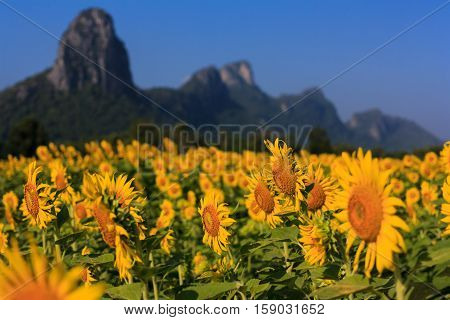 The sunflower in Lopburi Province of Thailand