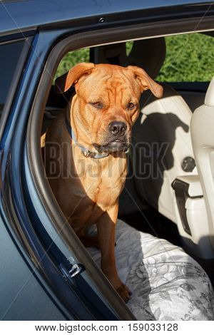 Big red dog sitting on guard and looking attentive in back end of a car