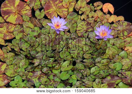 Gorgeous image of water lilies in a bright purple and yellow color,  set on lush green leaves with interesting markings.