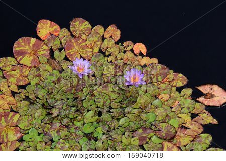 Beautiful water garden with lily pads and bright purple flowers tucked between the leaves.