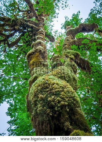 Tree covered with moss in the temperate Hoh Rain Forest.Olympic National Park Washington State USA