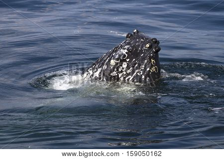 umpback whales snout sticking out of the water sunny summer day