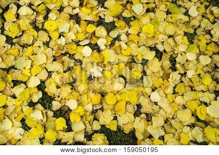 Fallen autumn leaves of lime closeup in cloudy day