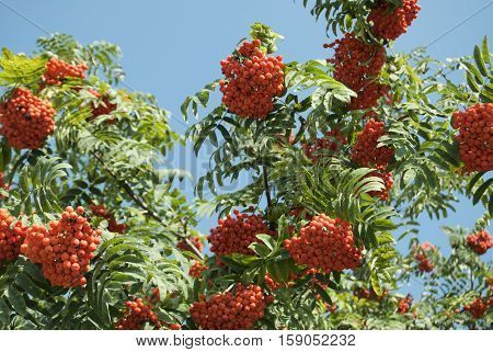 Fruits are red ash many bunches forest nature