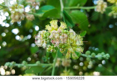 Manila tamarind flower and pollen - Pithecellobium dulce Benth