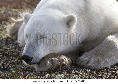 Close up image of a polar bear resting on the tundra.  Autumn in Churchill, Manitoba, Canada.