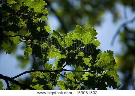 Pedunculate oak (Quercus robus) in summer