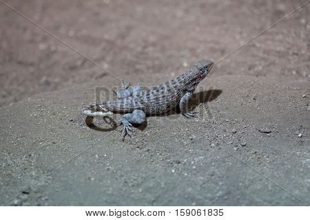 Northern curly-tailed lizard (Leiocephalus carinatus).