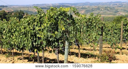 Vineyard With Grapes In The Italian Countryside