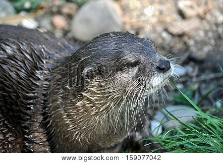 Small predator - an otter in the countryside near the river
