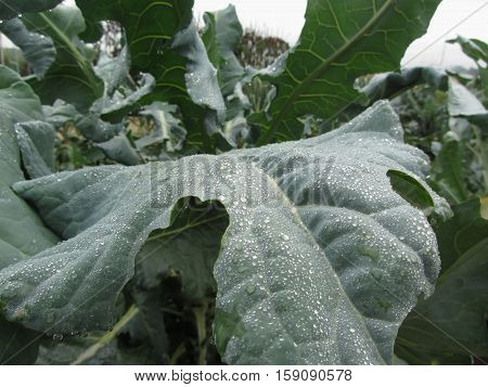 Raindrops on cauliflower leaves . The cauliflower plants are growing in the field . Tuscany Italy