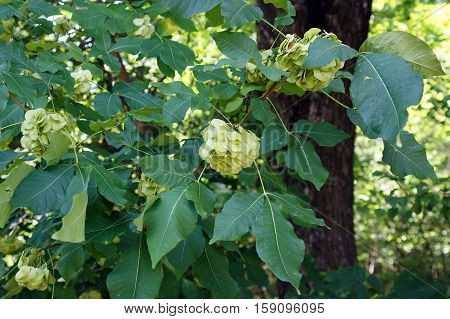 Leaves and fruits of Ptelea trifoliata commonly known as stinking ash or wafer ash