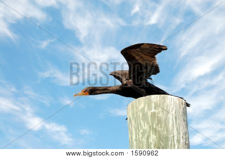 Cormorant, Black Waterbird