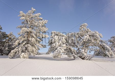 winter landscape of pine trees in the mountains