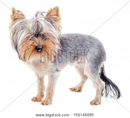 Yorkshire Terrier after grooming hair cut isolated on white background