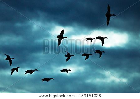 Silhouetted Flock of Ducks Flying in the Dark Evening Sky