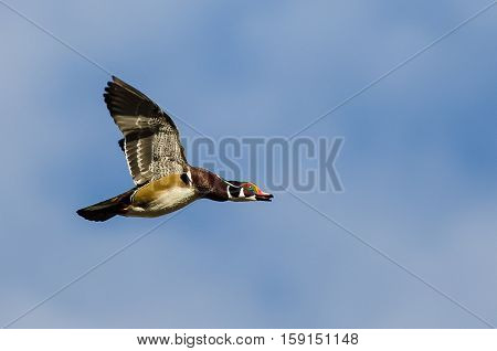 Male Wood Duck Flying in a Blue Sky