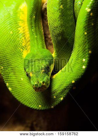 Green tree python, Morelia viridis. rain forest snake hanging on the branch