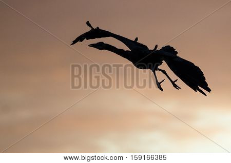 Silhouetted Great Blue Heron Flying in the Sunset Sky