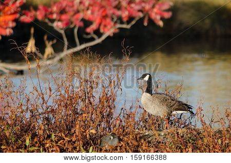 Canada Goose Resting Beside the Autumn Lake