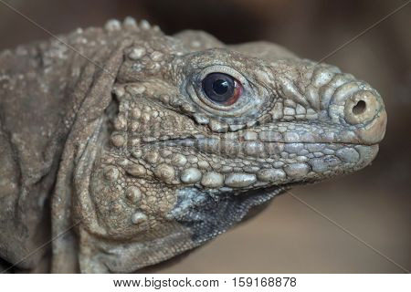 Cuban rock iguana (Cyclura nubila), also known as the Cuban ground iguana.