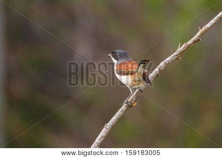 Burmese Shrike (lanius Collurioides)
