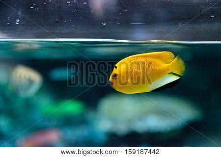 Three-spot Angelfish Apolemichthys trimaculatus in an aquarium