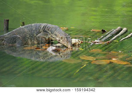 Varanus Salvator(water Monitor Lizard) Eating Fish On Woodpallet In Water