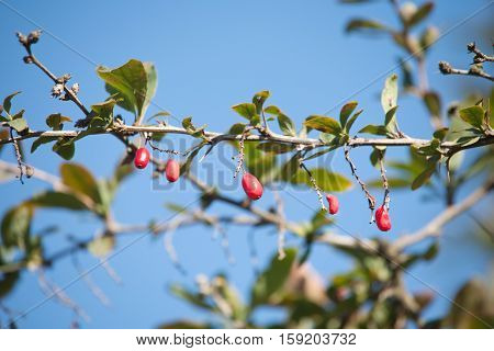 row of five barberry on branch and blue sky background