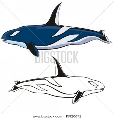 Vector illustration of a killer whale.