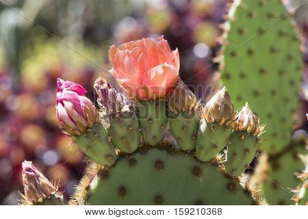 Flowering Opuntia Aciculata Cactus, Chenille Pricklypear