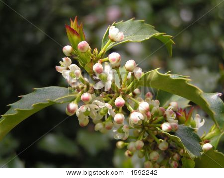 Flowers On Evergreen Holly Shrub