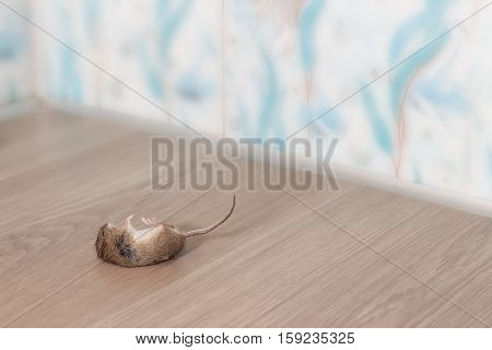 closeup dead mouse or rat in the corner of flat's bathroom on floor from grey linoleum. Inside high-rise buildings. Fight with mouse in the apartment. Extermination.