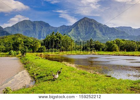 Landscape view of Hanalai valley with wild geese (Nene) Kauai Hawaii USA